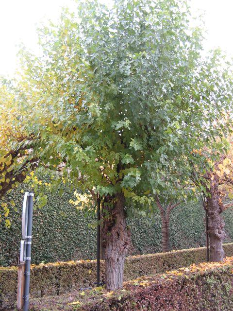 Weißer Maulbeerbaum
